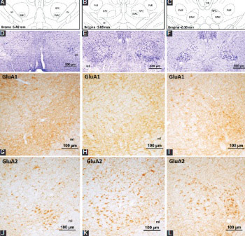 Immunohistochemical localization of ionotropic glutamate receptors in the rat red nucleus