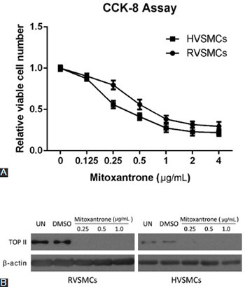 Mitoxantrone suppresses vascular smooth muscle cell (VSMC) proliferation and balloon injury-induced neointima formation: An in vitro and in vivo study