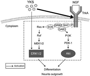The Kampo medicine Yokukansan (YKS) enhances nerve growth factor (NGF)-induced neurite outgrowth in PC12 cells