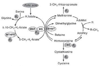 Polymorphism in Methylentetrahydrofolate Reductase Gene: Important Role in Diseases