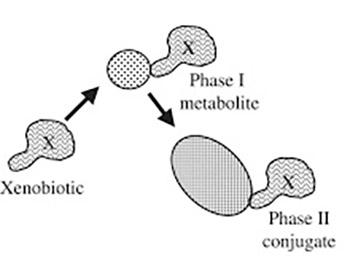 Comparative Determination of Xenobiotics Adsorption