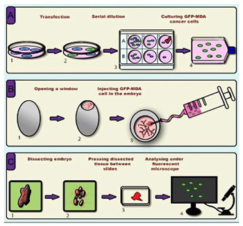 A novel in ovo model to study cancer metastasis using chicken embryos and GFP expressing cancer cells