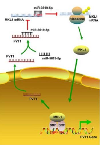 Long non-coding RNA PVT1 regulates the migration of hepatocellular carcinoma HepG2 cells via miR-3619-5p/MKL1 axis