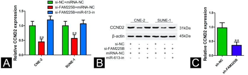 Long noncoding RNA FAM225B facilitates proliferation and metastasis of nasopharyngeal carcinoma cells by regulating miR-613/CCND2 axis